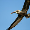 Huntington Beach State Park, SC (Brown Pelican)