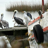 Brown pelicans, great egret and little blue heron at Hunting Island, SC