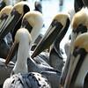 Brown pelicans in Florida Keys
