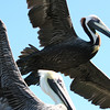Brown pelicans in Florida Keys