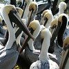 Brown Pelicans, Florida Keys