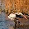 Huntington Beach State Park, SC (Brown Pelican)