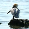 Brown Pelican, Florida Keys