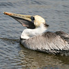 Brown pelican fishing, Huntington State Park, Murrell's Inlet, SC