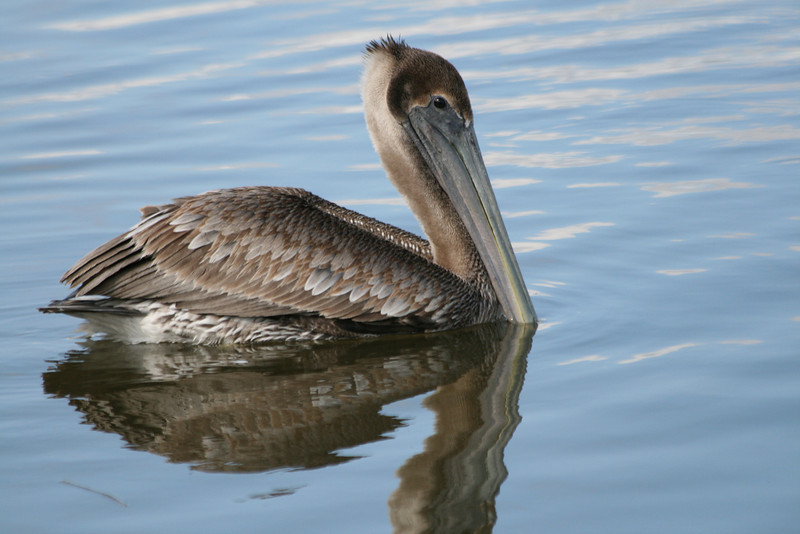 Brown Pelican, Huntington State Park, Murrell's Inlet, SC