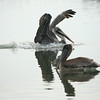 Brown Pelicans at Hunting Island, SC