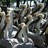 Brown Pelicans, Florida Keys