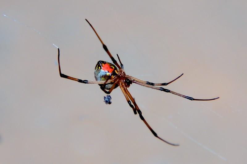 A black widow with its prey.
