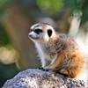 A Pensive Meerkat