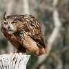Eurasian Eagle Owl, Birds of Prey Center, Charleston SC
