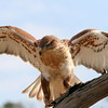 Ferruginous Hawk, Birds of Prey Center, Charleston SC