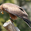 Yellow-Billed Kite, Birds of Prey Center, Charleston SC