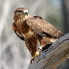 Common Buzzard, Birds of Prey Center, Charleston SC