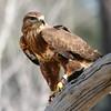 Common Buzzard, Birds of Prey Center, Charleston SC
