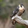 Peregrine Falcon, Birds of Prey Center, Charleston SC