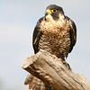 Peregrine Falcon, Birds of Prey Center, Charleston SC