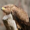 Tawny Eagle at Birds of Prey Center, Charleston, SC