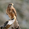 Eurasian Kestrel, Birds of Prey Center, Charleston SC