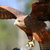 Harris Hawk, Birds of Prey Center, Charleston SC