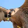 Lanner Falcon, Birds of Prey Center, Charleston SC
