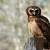 Brown Wood Owl, Birds of Prey Center, Charleston SC