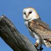 Barn Owl, Birds of Prey Center, Charleston SC