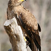 Tawny Eagle at Birds of Prey Center, Charleston, SC