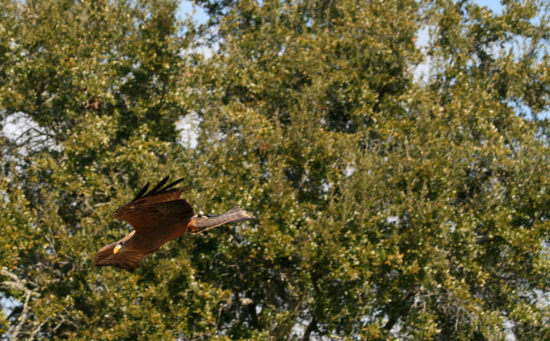 Harris Hawk, Birds of Prey Center, Charleston SC