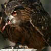 Eurasian Eagle Owl, Birds of Prey Center, Charleston SC
