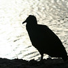 Black Vulture in Florida Everglades