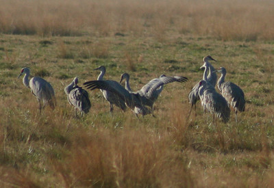 Merced Wildlife Refuge - Crane mating dance and being ignored.