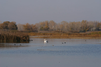 Merced Wildlife Refuge - Pelican cruising the marsh.