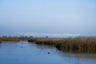 Merced Wildlife Refuge - Snow Geese in flight (background)