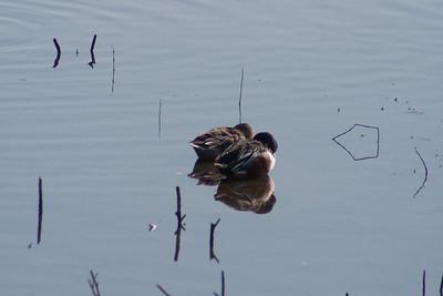 Merced Wildlife Refuge - cuddling ducks