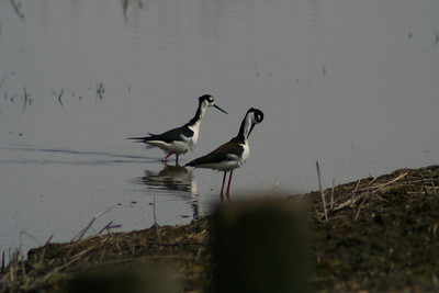 Black-necked Stilt? - Merced Wildlife Refuge