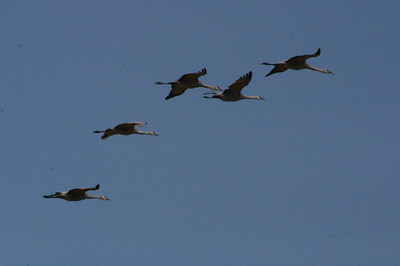 Merced National Wildlife Refuge.  Sandhill Cranes in flight.