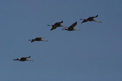 Merced National Wildlife Refuge.  Sandhill Cranes in flight.