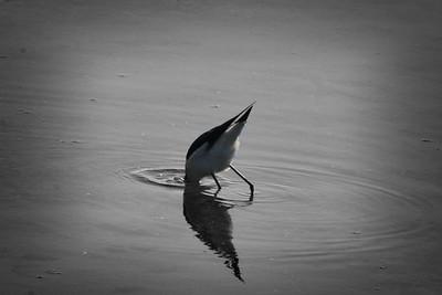Mooning bird (Black-necked Stilt - Merced Wildlife Refuge)