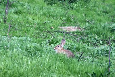 Field in refuge - wild bunnies roam!