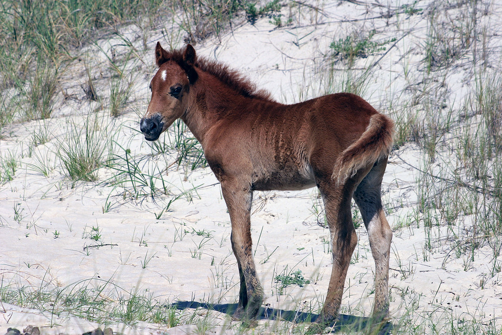 Wild Horses from Corolla, NC in the Outer Banks.