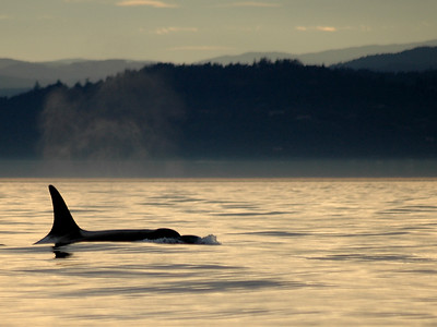 Orca at sunset - I took this picture on one of the most incredibly perfect days to go whale watching. There were several pods that had met up and were playing together really close to sunset. The water was like glass. This was one of the last shots I took that day -- just before the sun completely set.