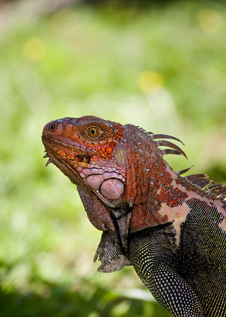 Iguana - Lizard family - reptile Costa Rican Wildlife photographed by a professional wildlife and nature photographer named Christina Craft.