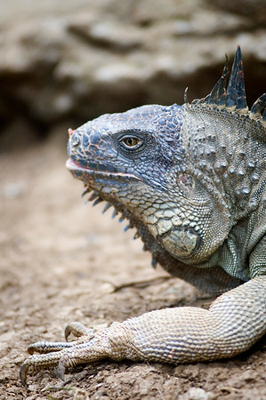 Iguana - a type of lizard - a kind of reptile