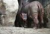 Baby Sumatran Rhino with its Mother - Cincinnatti Zoo 2007 - Photo By Cindy Bonish