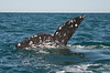 Tail Fin of a California Gray Whale - Baja Mexico 2008