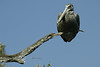 Pelican Almost too Big for the Perch - FL 2007