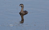 Pied-Billed Grebe seen around Cedar Key Florida 2009