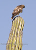 Red Tailed Hawk showing us his Talons - Baja Mexico