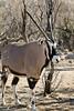 African Oryx - Arizona 2007