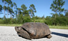 Gopher Tortoise Crossing the Road in Cedar Key Florida - Photo by Pat Bonish
